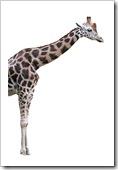 Naked giraffe